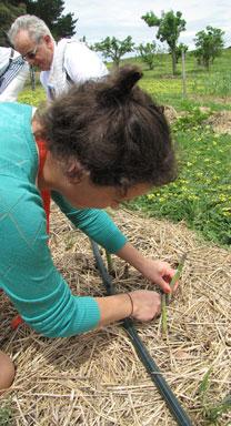 Picking-Asparagus